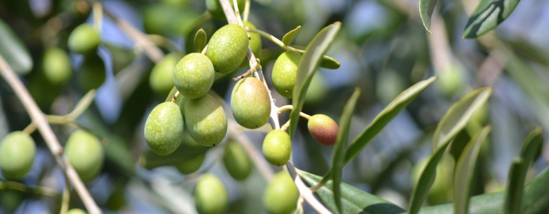 Our Organic Olive Oil
